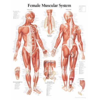 Female Muscular System: WITH Female Figure Laminated Poster