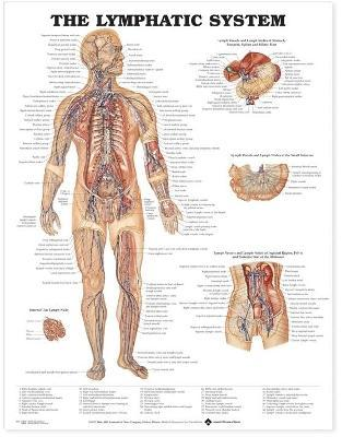The Lymphatic System Anatomical Chart
