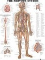The Nervous System Anatomical Chart